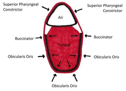 Obicularis Oris, Buccinator, Superior Pharyngeal Constrictor Arch Sling